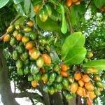 karaka-berries